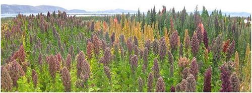 کینوا ، خاویار گیاهی که  کویر را آباد می کند